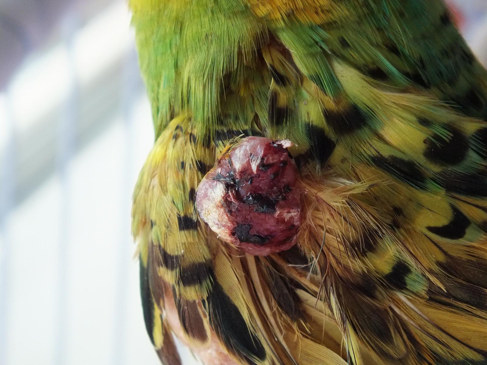 опухоль на крыле - DSCF8947.JPG