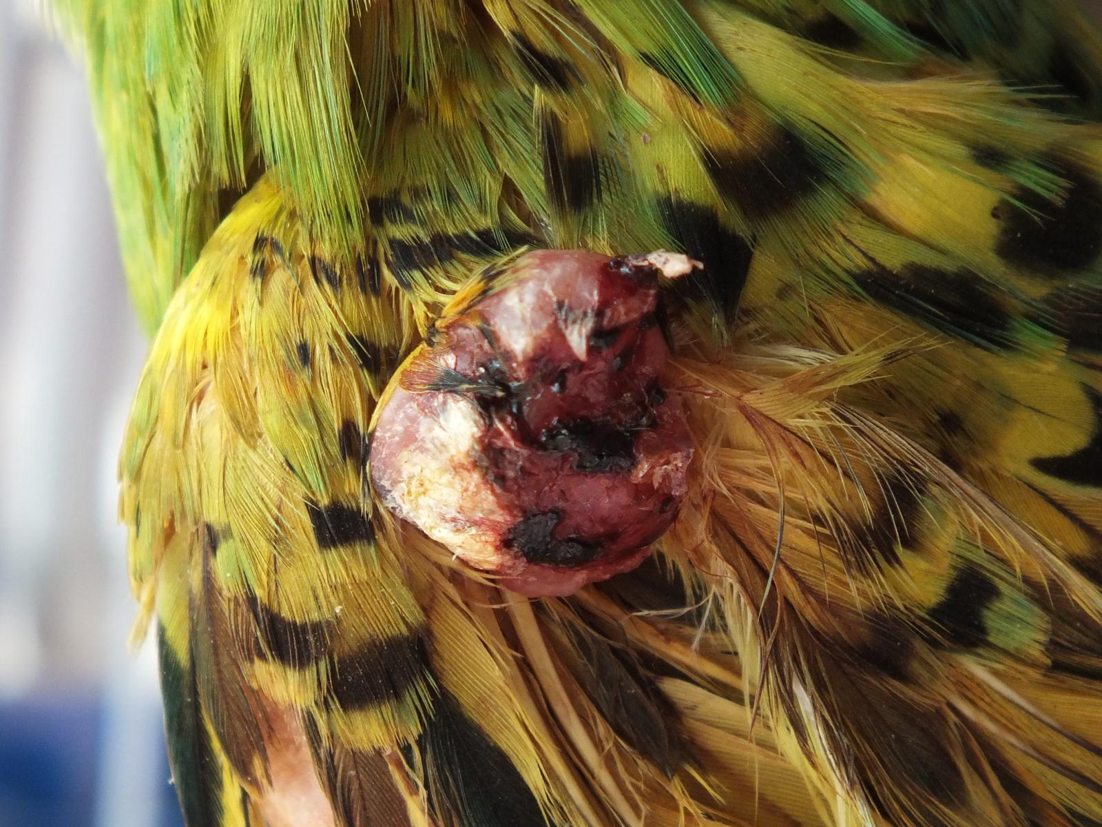 Опухоль у попугая - DSCF8950.JPG