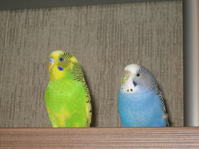 Наши волнистые попугаи - getImage (1).jpg