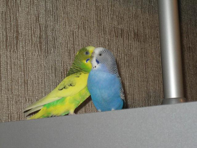 Наши волнистые попугаи - getImage.jpg