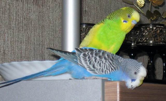 Наши волнистые попугаи - IMG_6511.JPG