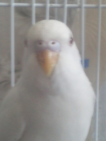 Определяем пол и возраст попугаев - 2 - SNC00381.jpg