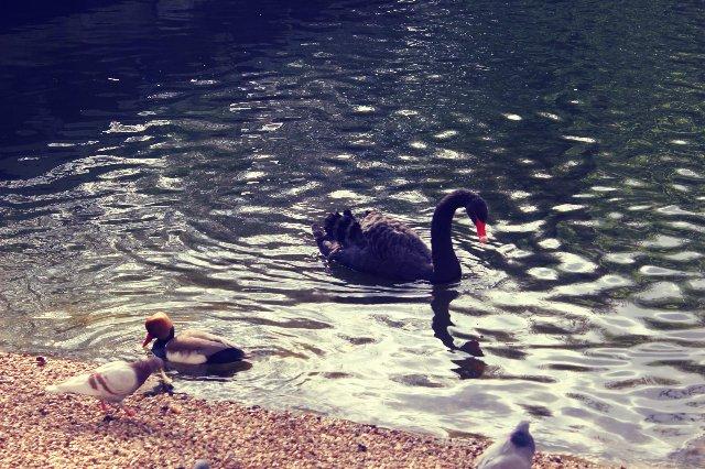 Лебеди в Гайд парке) Там вообще живности много) - d2b8fa99f66f.jpg