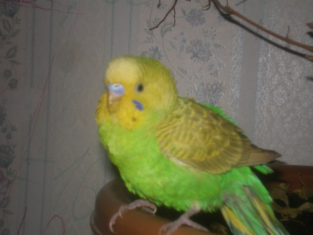 Определяем пол и возраст попугаев - 2 - IMGP0019.JPG