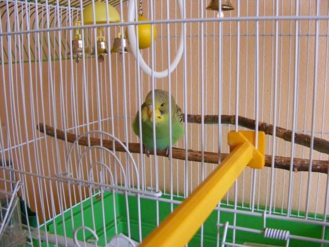 Определяем пол и возраст попугаев - 2 - Изображение 015.jpg