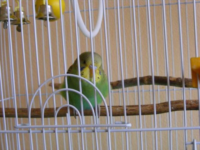 Определяем пол и возраст попугаев - 2 - Изображение 018.jpg