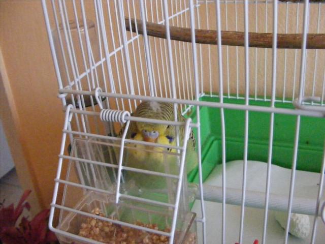 Определяем пол и возраст попугаев - 2 - Изображение 038.jpg