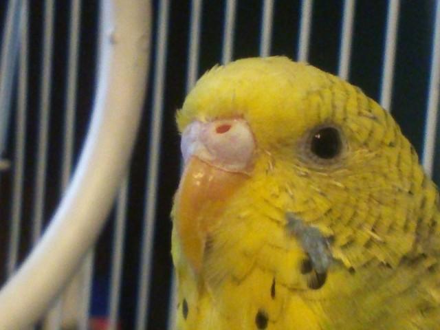 Помогите определить пол попугая - 24167.jpg