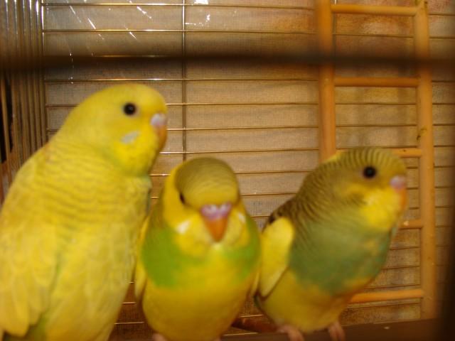 Посередине попугай самец? - DSC02985.JPG