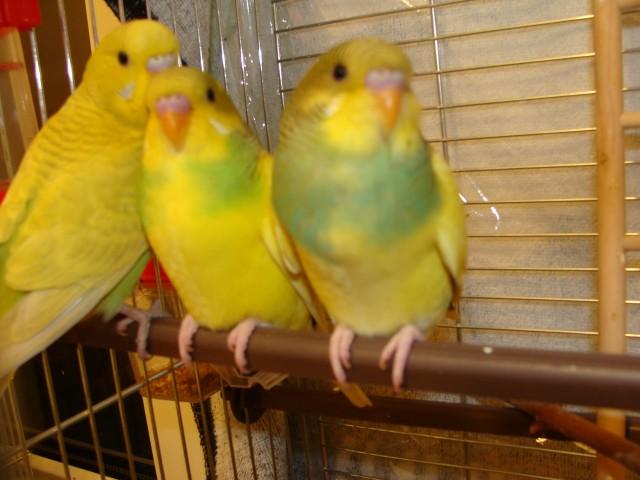 Три волнистых попугая - DSC02988.JPG