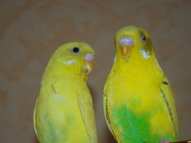боком попугай Кеша, а прямо попугай Глаша(?) - DSC08908.JPG