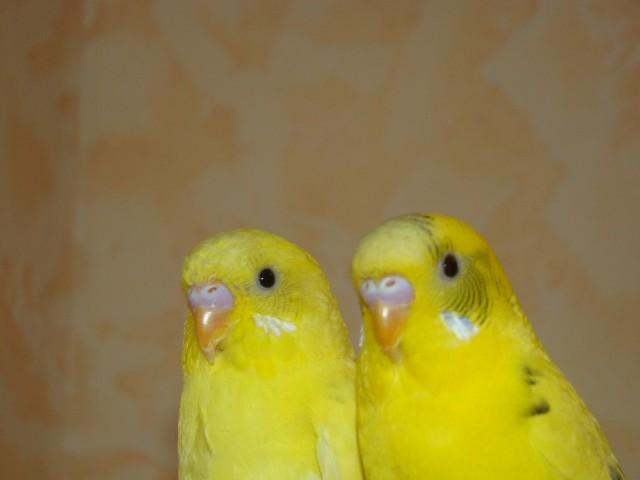 Пара волнистых попугаев - DSC08910.JPG