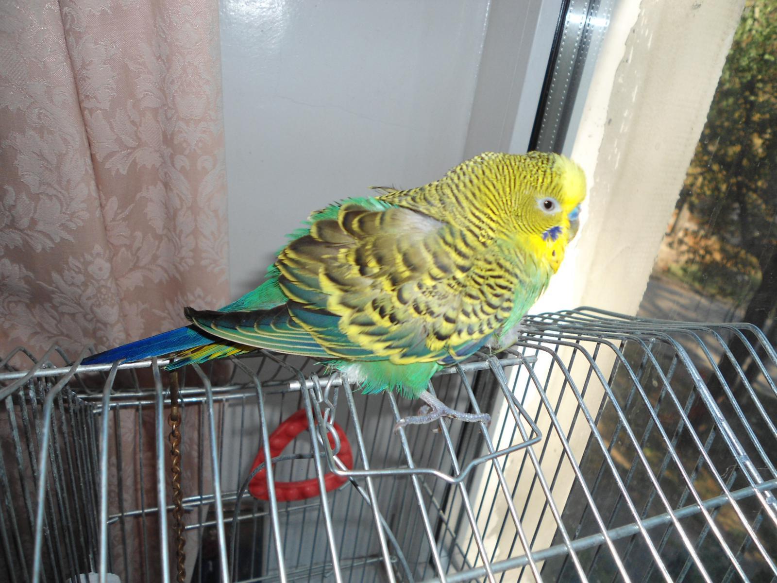 Волнистый попугай Тоша - DSC03186.JPG