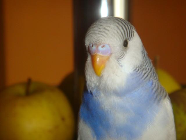 Волнистый попугай - DSC01625.JPG