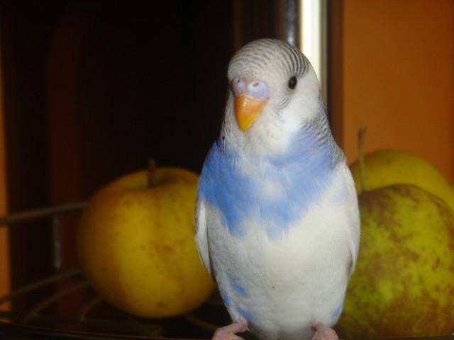 Волнистый попугай - DSC01627.JPG