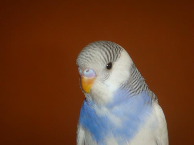 Определяем пол и возраст попугаев - 3 - DSC01629.JPG