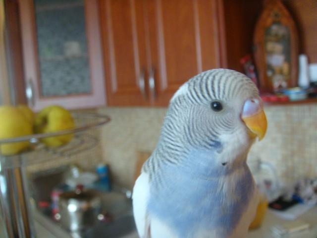 Волнистый попугай - DSC01632.JPG