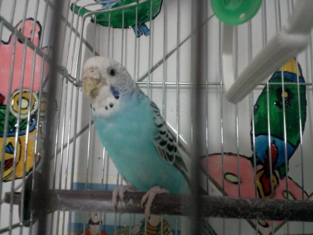Клещ у волнистого попугая - Фото0056.jpg