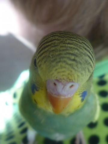 Волнистый попугай - P1020666.JPG