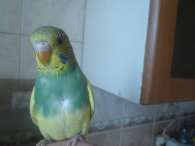 Волнистый попугай - P1020668.JPG