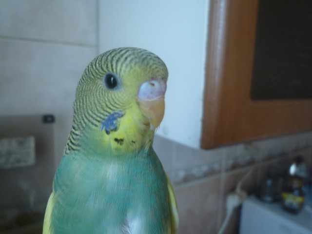 Волнистый попугай - P1020669.JPG