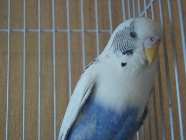 Волнистый попугай - DSC06325.JPG