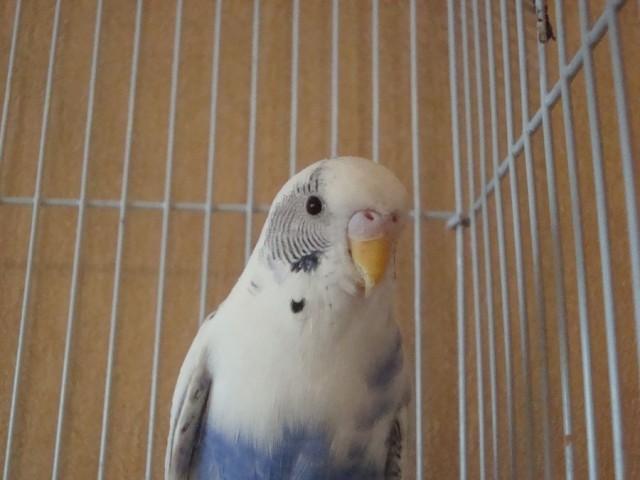 Волнистый попугай - DSC06327.JPG