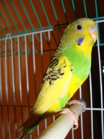 Волнистый попугай - DSC06323.JPG