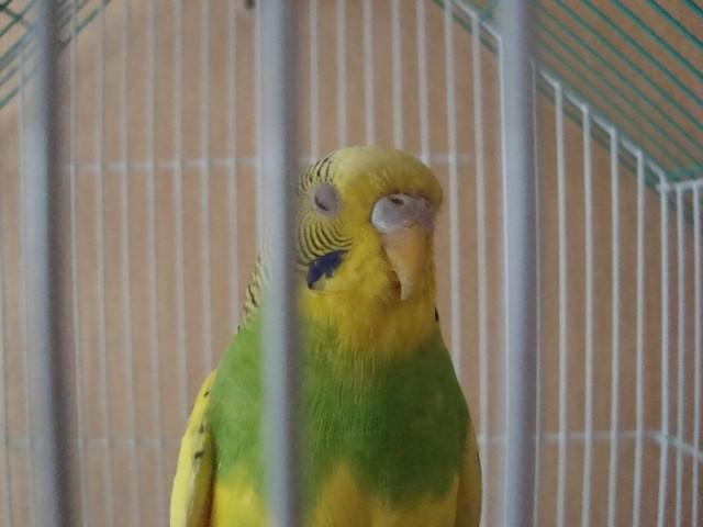 Волнистый попугай - DSC06330.JPG