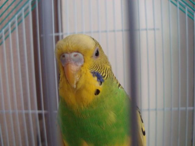 Волнистый попугай - DSC06332.JPG