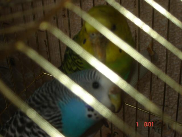 Клещ у волнистого попугая - DSC03510.JPG