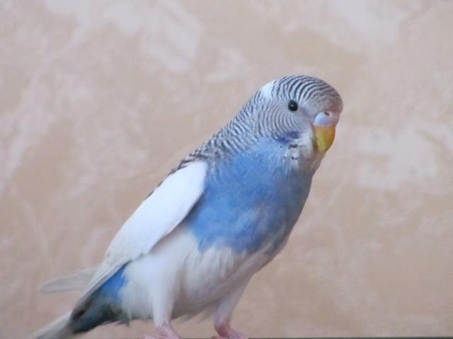 Волнистый попугай, девочка, Петра. Около 5 мес. - IMG_0426.jpg