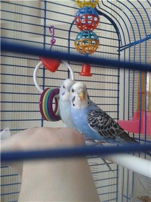 Хрипы у волнистого попугая - 92cf9efe152f.jpg