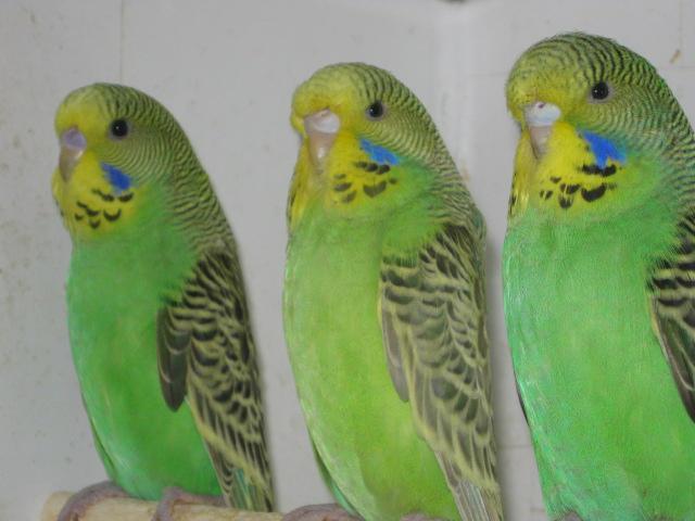 две самки и самец - IMG_6793.JPG