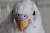 Клещ у волнистого попугая - 222.jpg