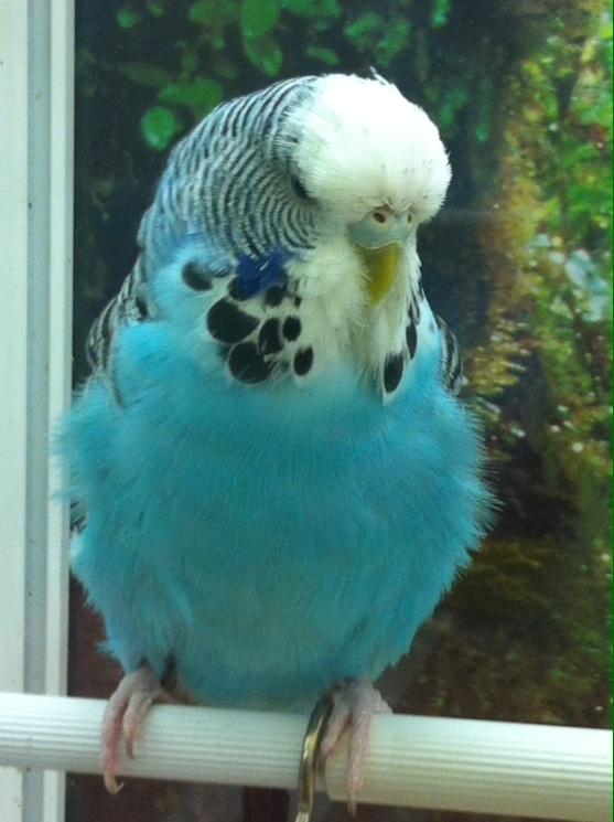 Приму в дар волнистого попугайчика любого - image.jpg