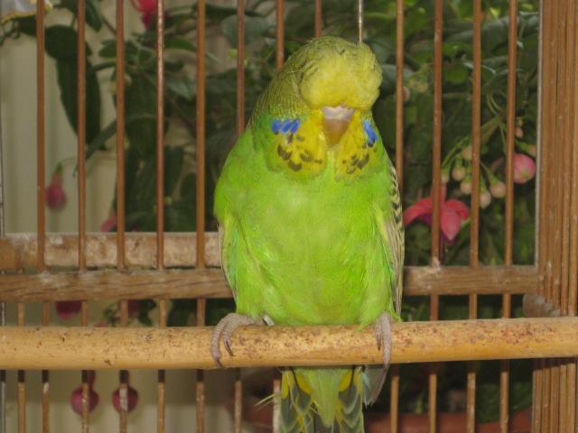 Волнистые попугаи выставочного типа молодежь Москва - IMG_6837.JPG