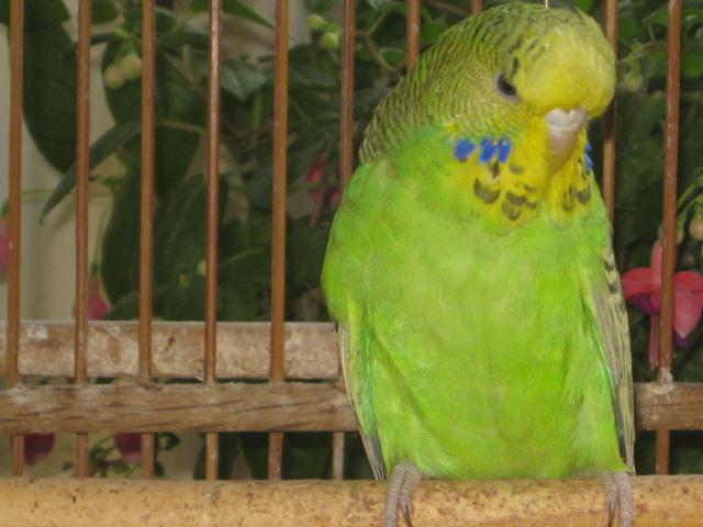Волнистые попугаи выставочного типа молодежь Москва - IMG_6843.JPG