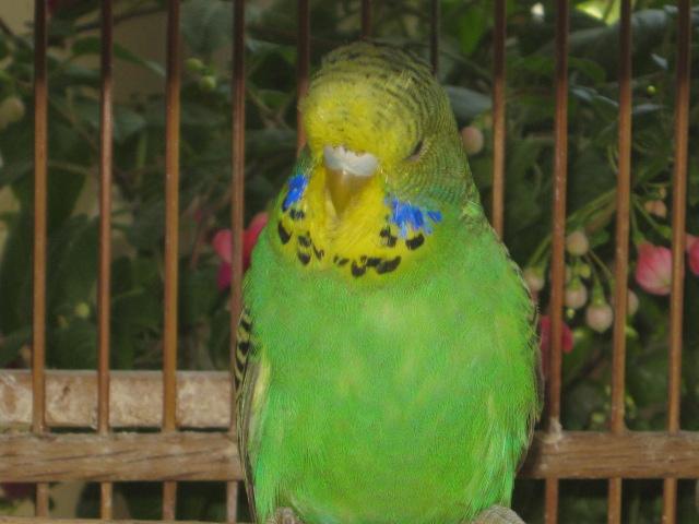 Волнистые попугаи выставочного типа молодежь Москва - IMG_6846.JPG