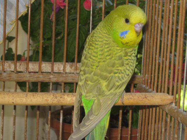 Волнистые попугаи выставочного типа молодежь Москва - IMG_6891.JPG