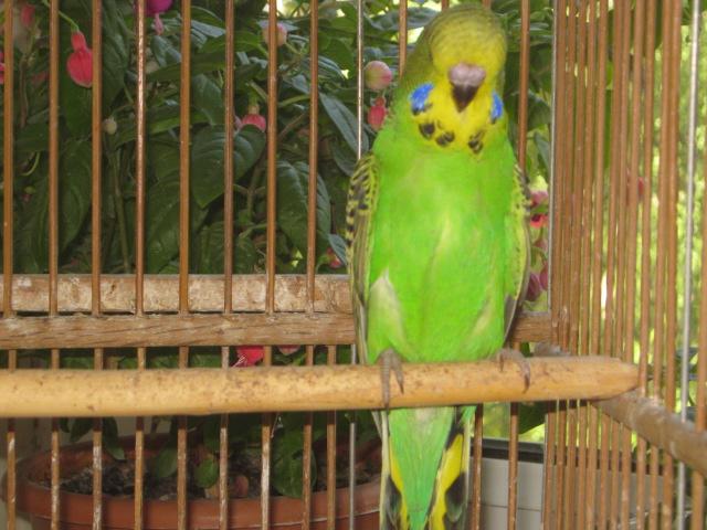 Волнистые попугаи выставочного типа молодежь Москва - IMG_6903.JPG