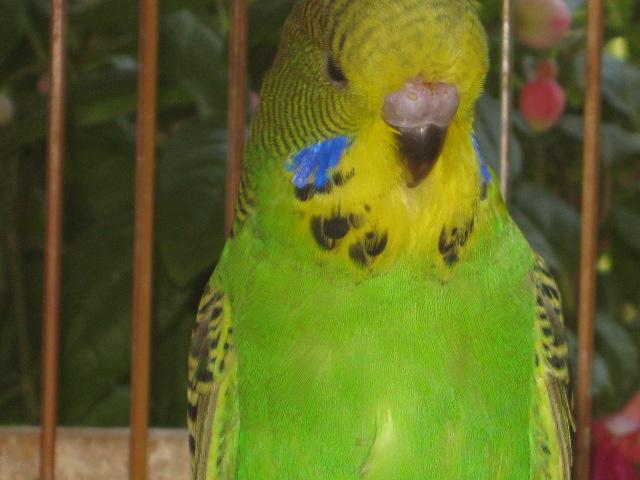 Волнистые попугаи выставочного типа молодежь Москва - IMG_6912.JPG