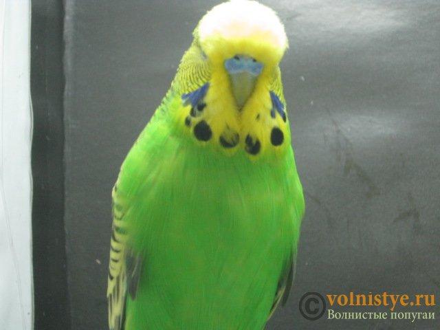 Волнистые попугаи выставочного типа молодежь Москва - IMG_7182.JPG