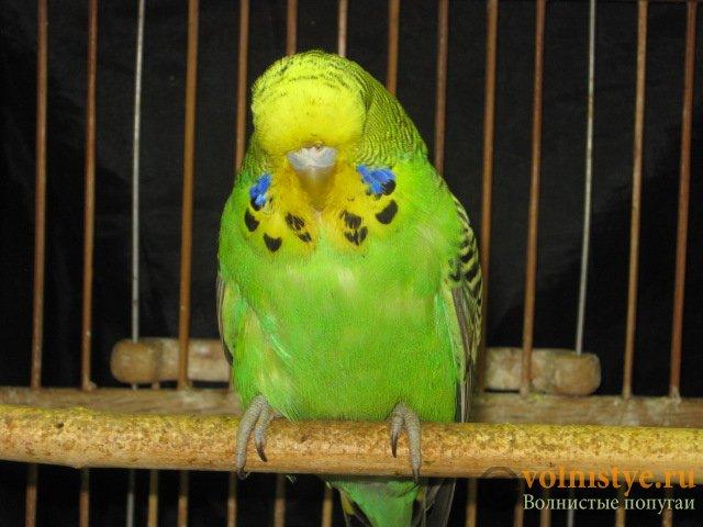 Волнистые попугаи выставочного типа молодежь Москва - IMG_7649.JPG
