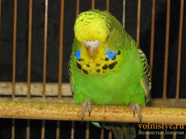 Волнистые попугаи выставочного типа молодежь Москва - IMG_7660.JPG