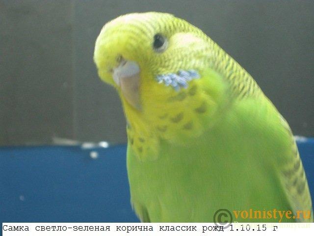 Волнистые попугаи выставочного типа молодежь Москва - IMG_7486.JPG