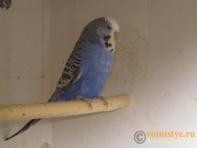Волнистые попугаи выставочного типа молодежь Москва - IMG_7665.JPG