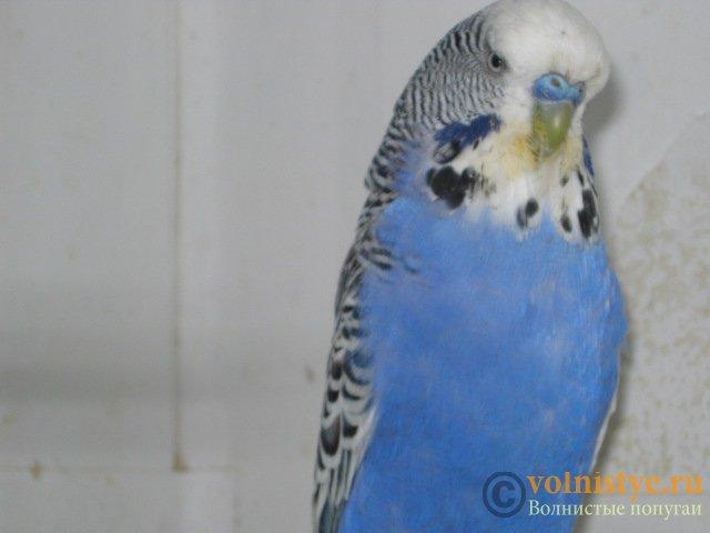 Волнистые попугаи выставочного типа молодежь Москва - IMG_7672.JPG
