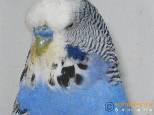 Волнистые попугаи выставочного типа молодежь Москва - IMG_7681.JPG