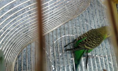 Волнистый попугай. - 001.jpg